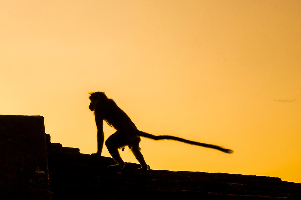 Silhouette of monkey, Sigiriya Rock (an ancient rock fortress), Central Province, Sri Lanka.