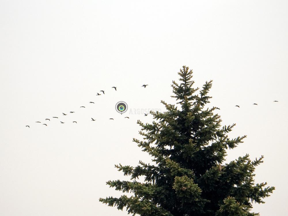 Toronto, ON, Canada     Jun/2005.Toronto Island, ilhas no Lago Ontario, em frente a downtow. Area de lazer. Patos voando em formacao em V./ Lake Ontario Islands in front of downtown. Leisure area. Ducks flying in V shape..Foto Marcos Issa/Argosfoto