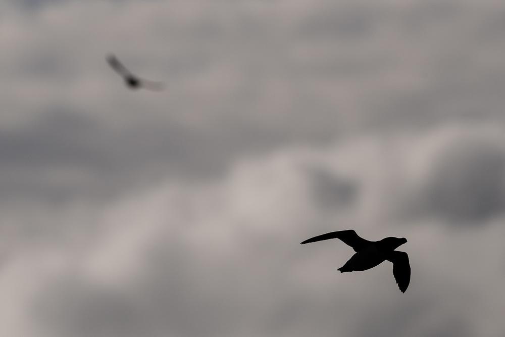 Razorbill, Lunga, Scotland