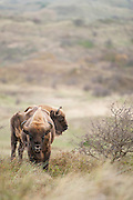 Two European bison (Bison bonasus) standing in dune landscape