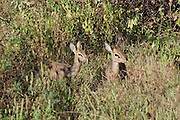 Kenya, Samburu National Reserve, Kenya, Gunther's long snouted Dik-dik (Mandoqua guntheri) the smallest antelopes