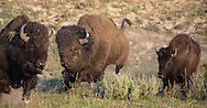During the August breeding season, a dominant bull bison chases a rival from a cow he is tending. After multiple attempts to separate this cow from the big bull, the smaller rival finally gave up and retreated into Hayden Valley.