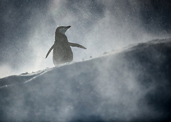 Chinstrap Penguin (Pygoscelis antarcticus) in Anarctica
