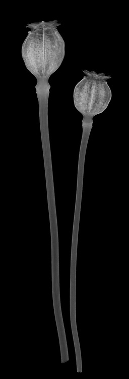 X-ray image of dried opium poppy capsules (Papaver somniferum, white on black) by Jim Wehtje, specialist in x-ray art and design images.