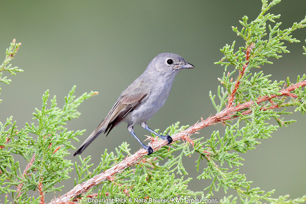 Gray Vireo <br /> Vireo vicinior<br /> Oracle, Pinal County, Arizona, United States<br /> 10 September      Adult      Vireonidae