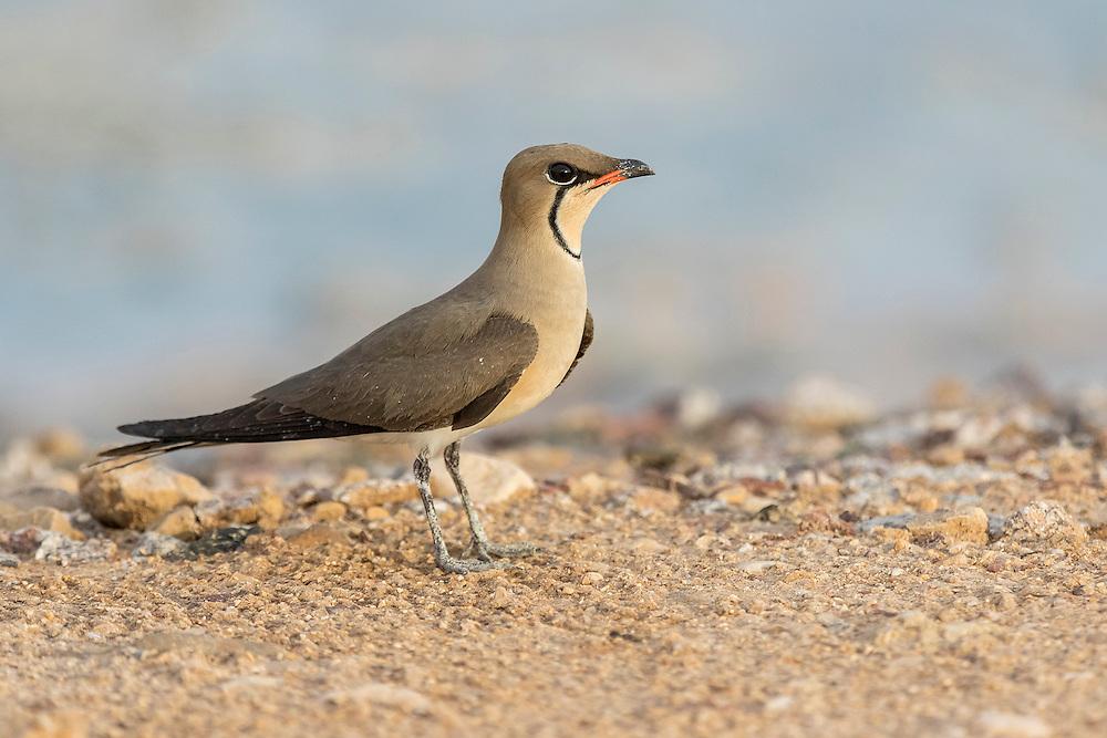 Single Collared Pratincole Glareola pratincola resting on ground Eilat, Israel