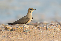 Single Collared Pratincole Glareola pratincola resting on ground Eilat, Israel