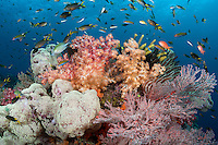 Damsels and Wrasses feed above colorful Soft Corals<br /> <br /> Shot in Indonesia