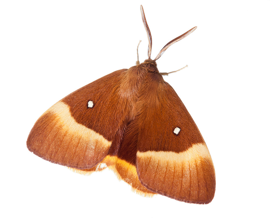 Oak eggar moth, France