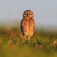 Burrowing owl in soft light, Hato el Cedral, Venezuela, 2012
