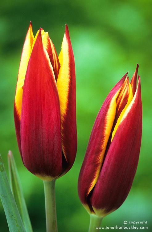 Tulipa 'Gavotta'