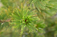 Whitebark Pine (Pinus albicaulis) needles