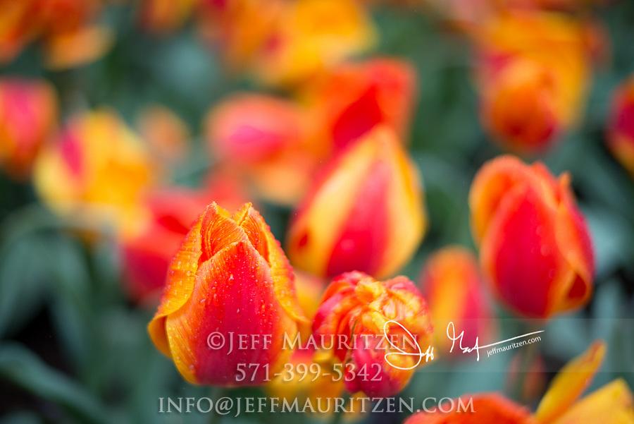 Orange tulips in bloom in springtime.