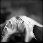 Maple Leaf 2010
