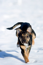 Small young black and tan mongrel puppy runs across snow covered park. <br /> <br /> Wallace in The snow Ecclesfield Park <br /> <br /> 7th February 2009 © Paul David Drabble Small young black and tan mongrel puppy runs across snow covered park.