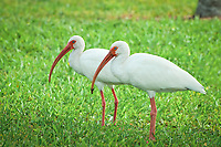 A pair of white ibis scavenging for insects and worms beneath the lawn of a local city park in Titusville, Florida.