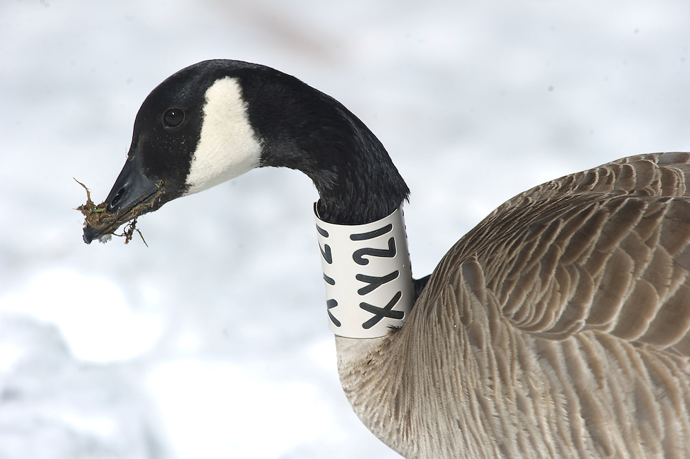 A collared goose feeds in a snowy field.