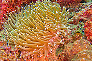 Alberto Carrera, Euphyllia, Hammer Coral, Stony Coral, Branching Coral, Lembeh, North Sulawesi, Indonesia, Asia