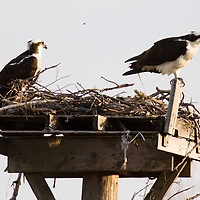 A pair of Osprey sit on top of a nesting box put up at Sandy Hook National Park New Jersey..