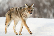 Coyote (Canis latrans) foraging along the Haines Highway in Tatshenshini-Alsek Provincial Park in British Columbia, Canada. Winter. Afternoon.