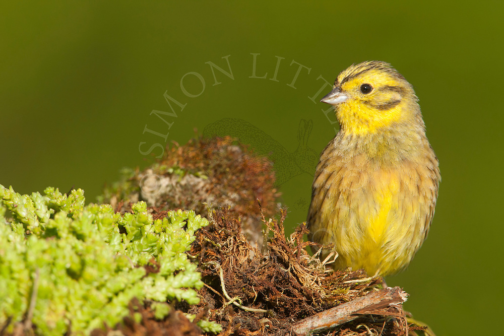 Yellowhammer (Emberiza citrinella) adult perched on midden heap, Norolk, UK.