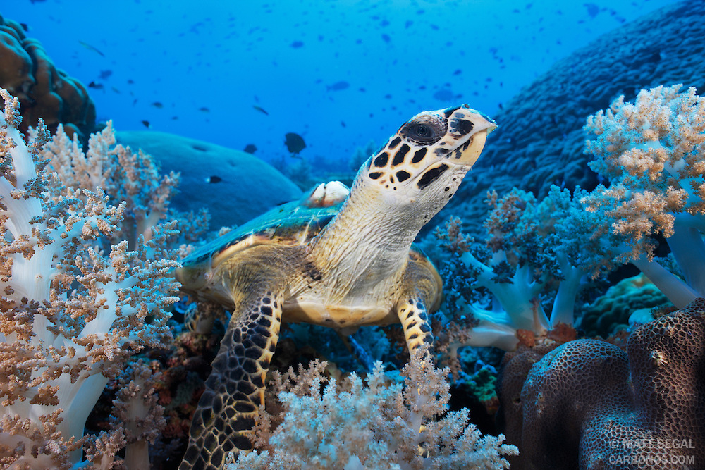 A hawksbill sea turtle (Eretmochelys imbricata) investigates the dome port among soft corals on a deep reef. Pulau Suanggi, Maluku, Indonesia.