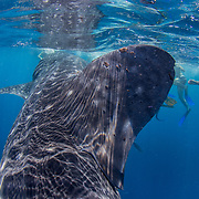 Tourists snorkelling around whale shark (Rhincodon typus), Honda Bay, Palawan, the Philppines