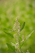 Red Head Quinoa bred by Frank Morton of Wild Gareden Seed.