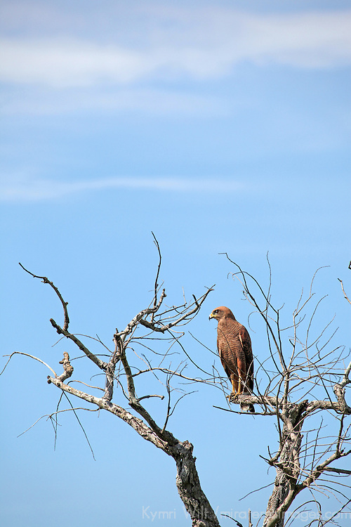 South America, Brazil, Pantanal. Savannah Hawk perched in a treetop at the Pantanal.