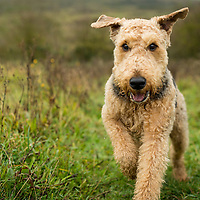 Airedale Dogs
