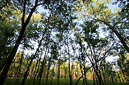 A forest of small trees are filtering the late evening summer sunlight, cooling off the forest floor below.