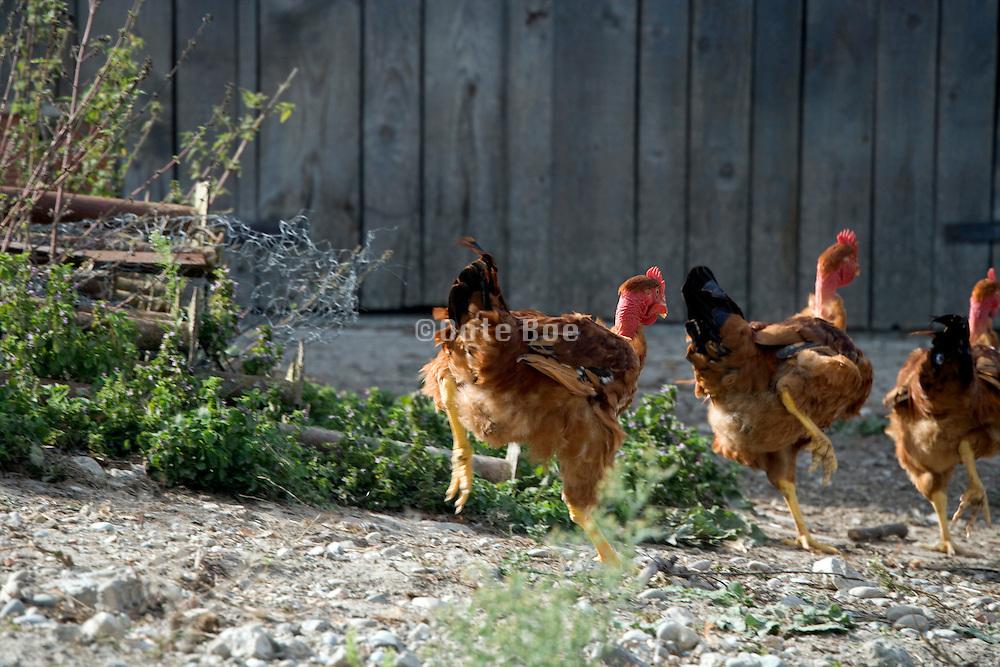 three big brown chickens running away outdoors