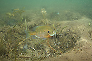Bluegill on Spawning Nest<br />