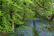 A path through bluebells (Hyacinthoides non-scripta) under a spreading beech (Fagus sylvatica) tree amongst Small-Leaved Limes (Tilia cordata) in Southrey Wood, Lincolnshire.<br />