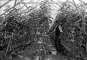 03/07/1963<br /> 07/03/1963<br /> 03 July 1963<br /> Views of tomato farm at Kinsealy and fruit mart at Rush, Co. Dublin. Image shows Eurox Tomatoes growing at Mr Curtin's farm, Kinsealy.