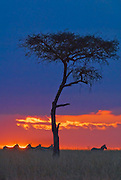 Sunset in Africa with acacia tree and zebras walking by.