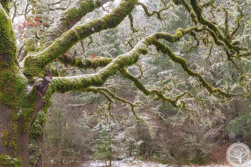 Old moss covered tree after first snowfall. Bald Hill City Park, Corvallis, Oregon