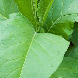 Tobacco in Hadley, Masaschusetts,