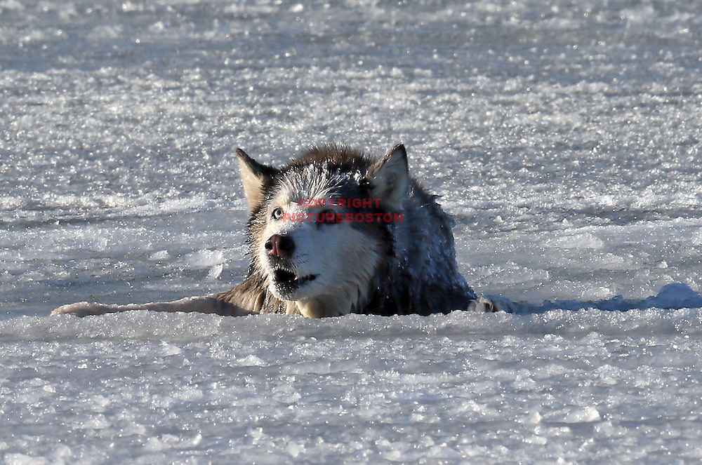 01/09/2014-Boston,MA. Boston firefighter Sean Coyle uses a basket to slide out to Sylvie, a 13 year old Husky, that fell through the ice of Castle Island's Pleasure Bay in Southie this morning, January 9, 2014. Boston Herald Staff photo by Mark Garfinkel