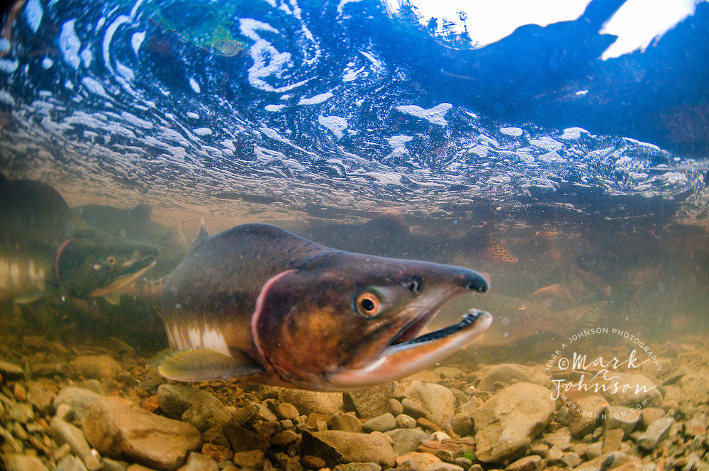 Underwater view of spawning salmon, Sitka, Alaska