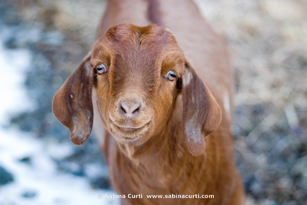 Young boer goat on small sustainable family farm in Hillsdale, Columbia County, NY, New York