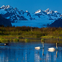 A pair of Trumpeter Swans along with a pair of Canada Geese share a pond in front of Sheridan Glacier along the Copper River Highway near Cordova, Alaska.