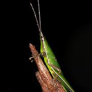 Short horned Grasshopper, Pseudomorphacris notata
