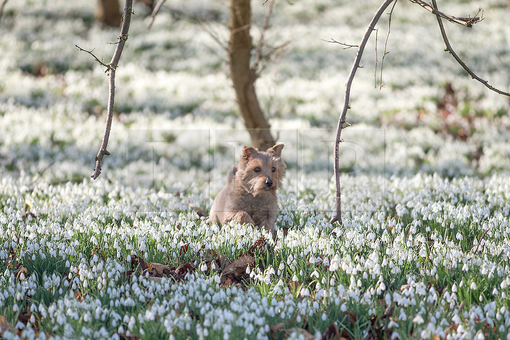 © Licensed to London News Pictures. 18/02/2015. Welford, UK Tumble the Yorkshire Terrier walks through the Snowdrops in bloom at Welford Park in Berkshire today 18th February 2015. The Galanthus Nivalis display at Welford Park is in a beech wood covering approximately 5 acres alongside the River Lambourn. Photo credit : Stephen Simpson/LNP