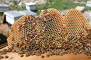 The medical benefits of honey are well documented. These include it's anti-microbial and anti-oxidant properties. The honeycomb is made of bees wax which has several commercial uses including in the production of food, cosmetics and pharmaceuticals.<br /> Bil'in, Ramallah, West Bank, Palestine.