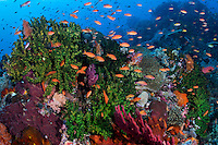 Tree Corals swarmed by feeding Anthias<br /> <br /> Shot in Indonesia
