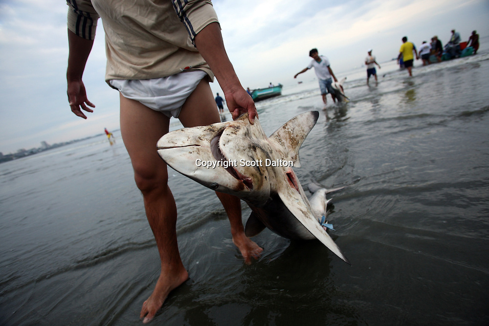Fishermen bring in their catch of sharks in Manta, Ecuador on April 15, 2008. (Photo/Scott Dalton).