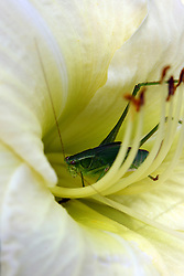 26 July 2008: A green grasshopper takes up residence in a white Lily bloom