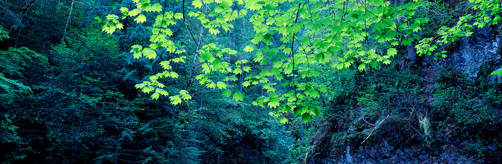 USA, Washington, Olympic National Park, Lush old growth rainforest along Big Quilcene River on spring afternoon