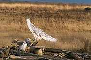 A Snowy Owl (Bubo scandiacus) flies to a new perch at Boundary Bay in Delta, British Columbia, Canada